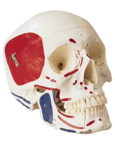 Premier Skull - Painted and Numbered-Coded Muscle Attachments