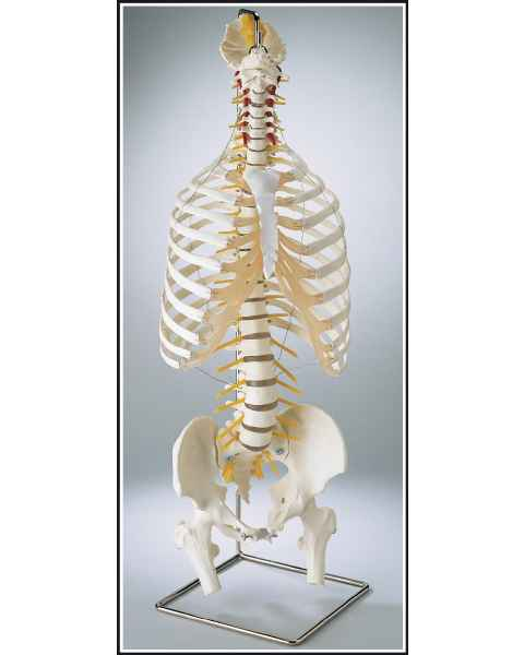Premier Flexible Spine with Thorax & Movable Femur Heads