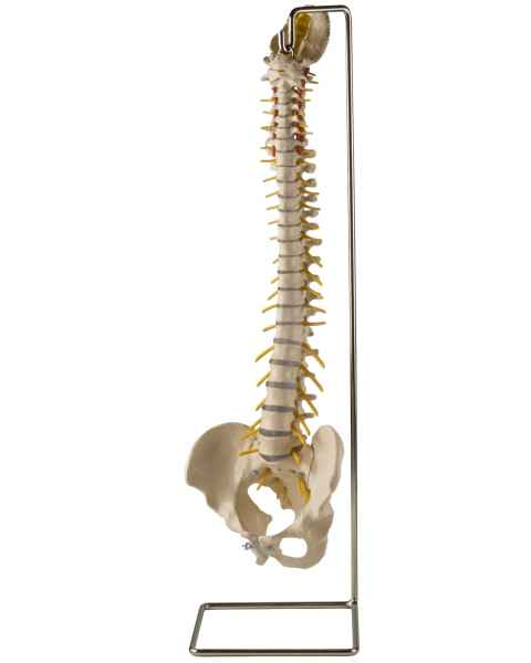 Ultraflex Spine with Extra Soft Discs without Femur Heads