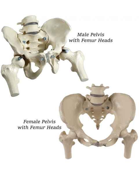 Premier Male & Female Pelves Set with Femur Heads