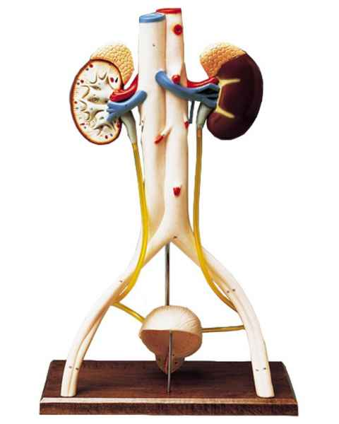 Hands-On Urinary System Model