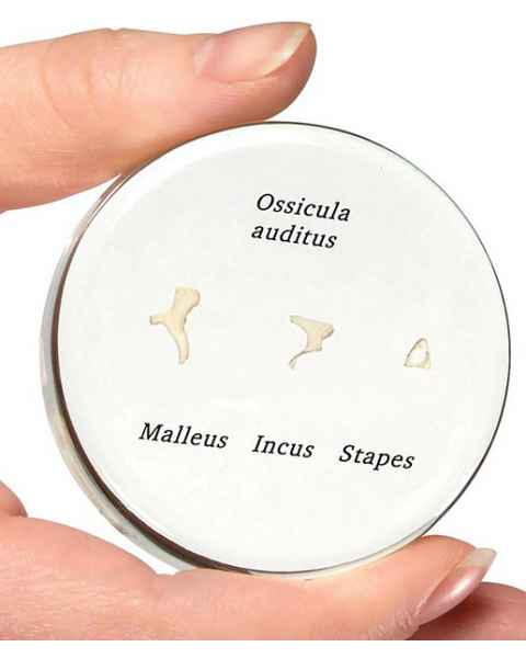 Life-Size Auditory Ossicles Embedded Model
