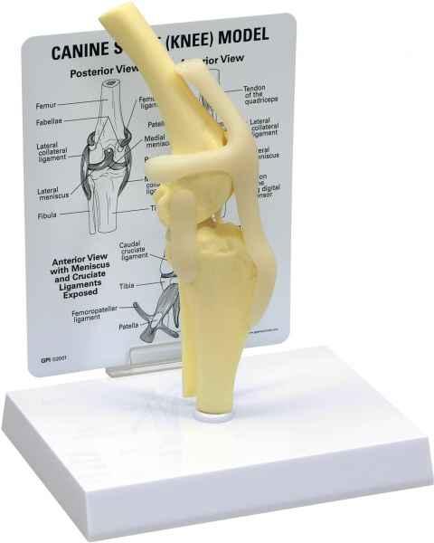 Canine Knee Model