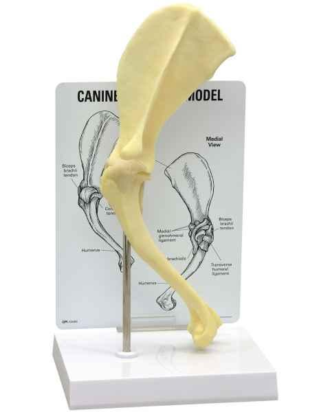 Canine Shoulder Model