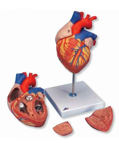 Heart Model 2 Times Life-Size 4-Part