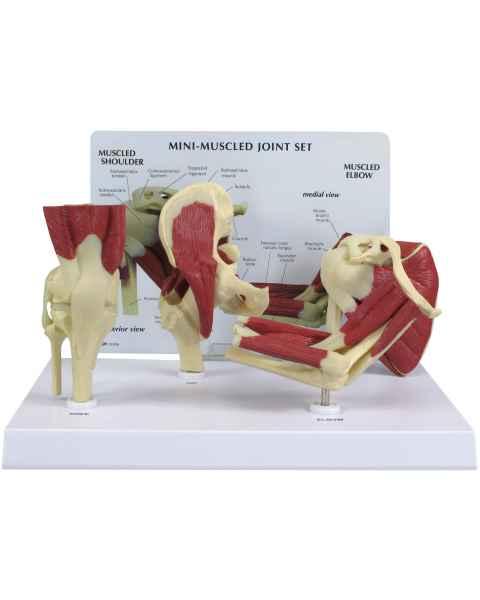 GPI Mini-Muscled Joint Set Model