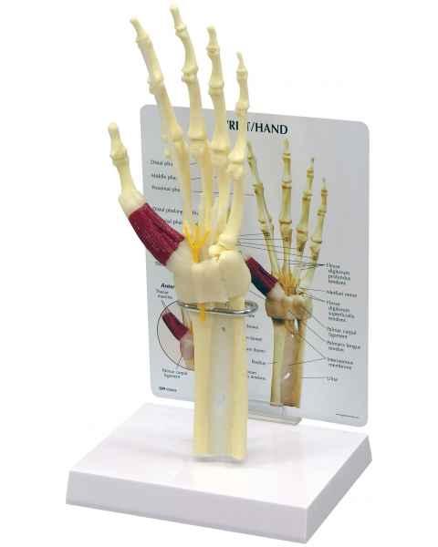 Wrist and Hand Model