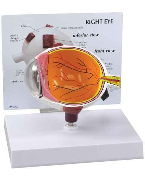 Cutaway Eye Model