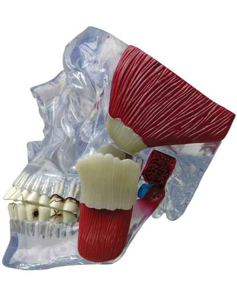TMJ Clear Skull with Muscles Model