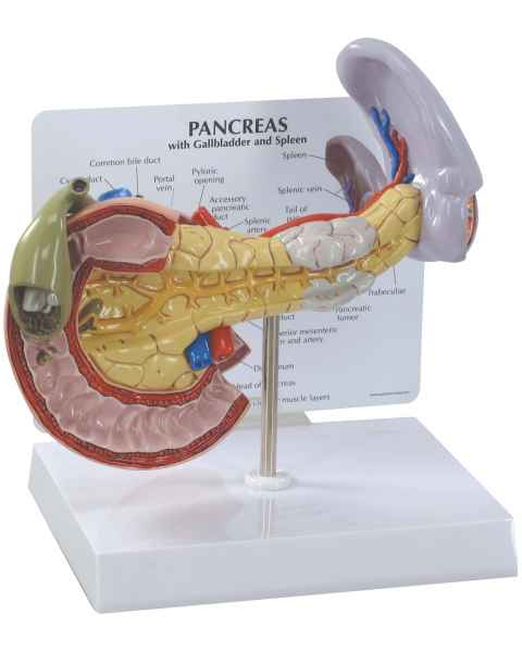Pancreas, Spleen and Gallbladder Model