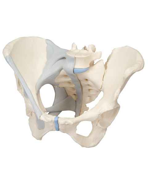 Female Pelvis Model with Ligaments Life-Size 3-Part