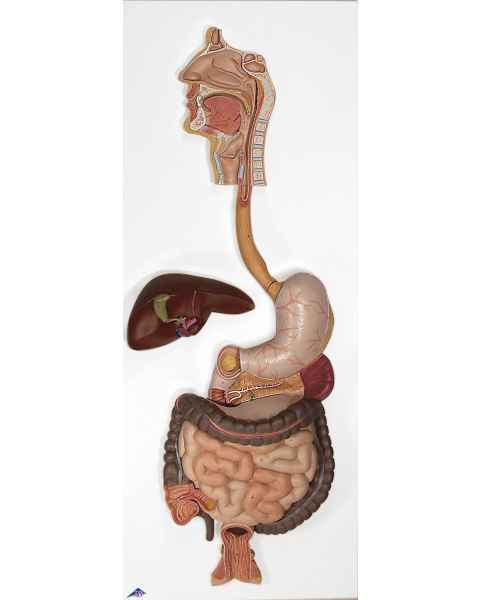 Digestive System Model 3-Part