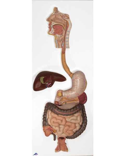 Digestive System Model 3-Part