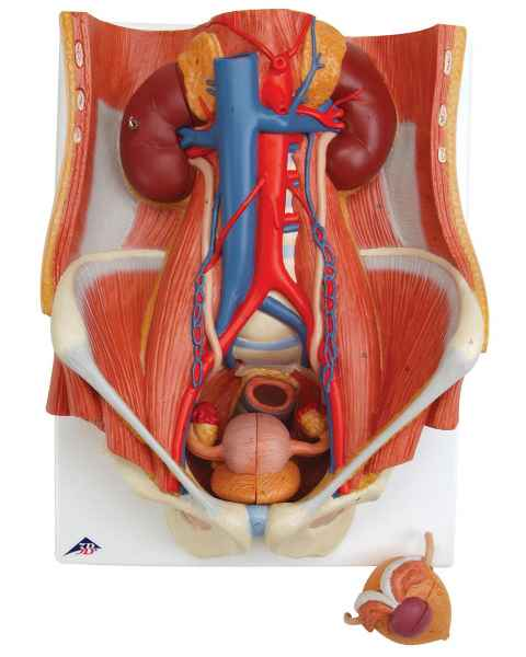 Dual Sex Urinary System Model 6-Part