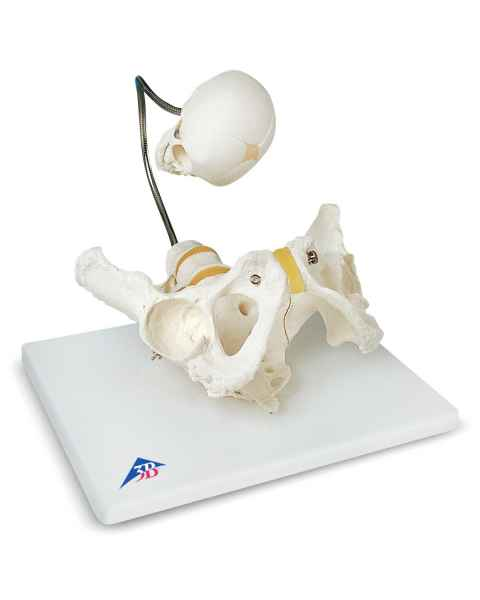 Childbirth Demonstration Pelvis Model
