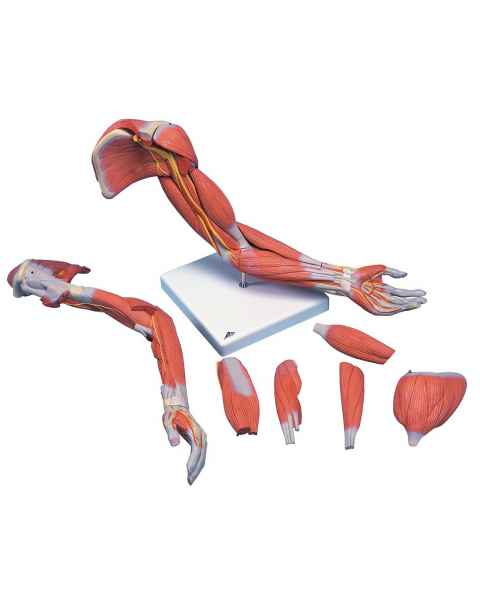 Deluxe Muscle Arm Model 6-Part Life-Size