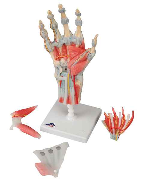 Hand Skeleton Model with Ligaments and Muscles; 4 Part
