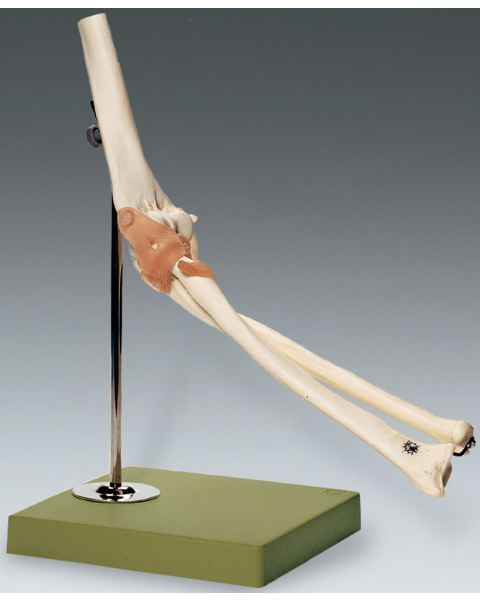 Functional Model of the Elbow Joint
