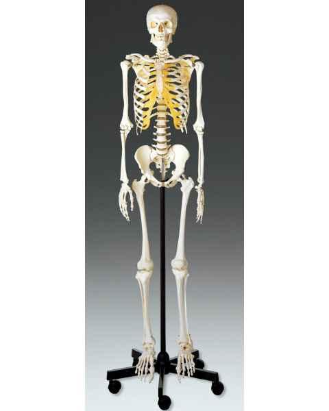 Adult Male Skeleton