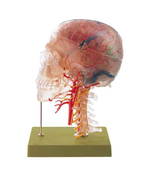 Neuroanatomy Head Model