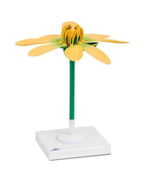 Lesser Celandine Flower (Ficaria verna) Model