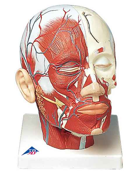 Head and Neck Musculature Model with Blood Vessels
