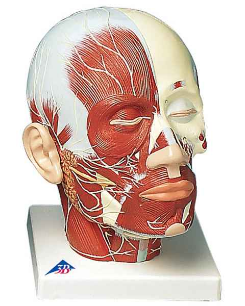 Head and Neck Musculature Model with Nerves