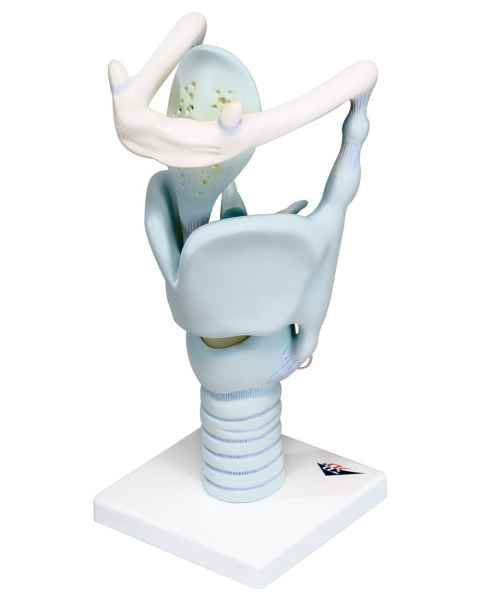 Functional Larynx 3 Times Full-Size