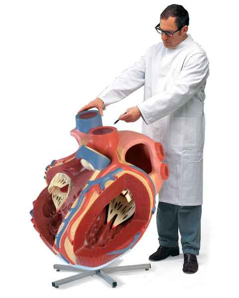 Giant Heart Model 8 Times Life-Size