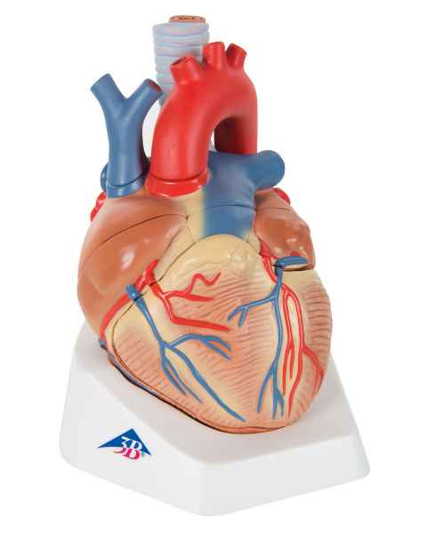 Heart Model 7-Part