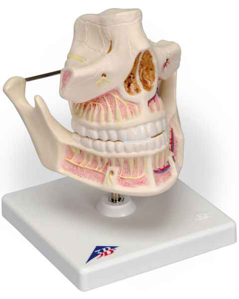 Adult Denture Model