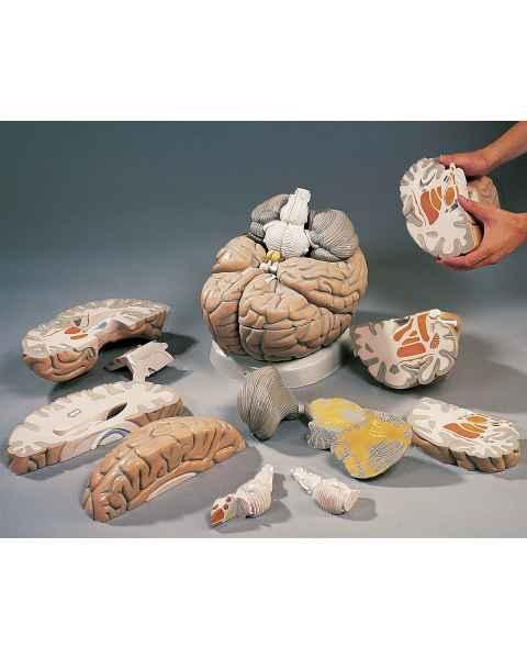 Giant Brain Model 14-Part 2.5 Times Full-Size