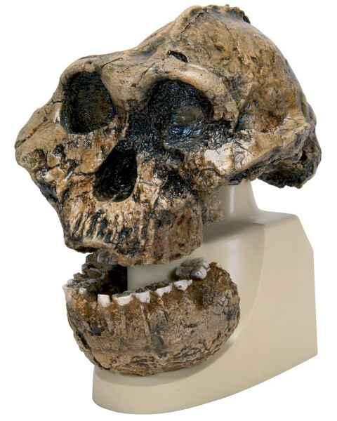 Anthropological Skull Model - KNM-ER 406, Omo L. 7a-125