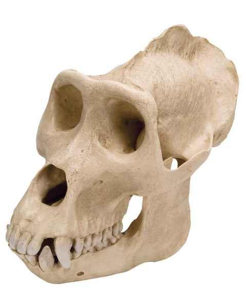 Gorilla Skull (Gorilla Gorilla) Male Model