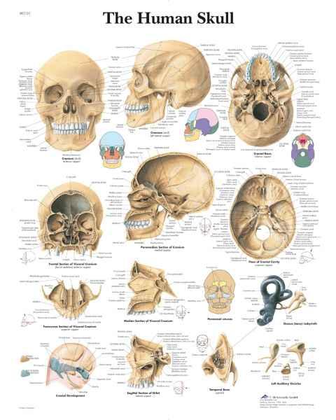The Human Skulls Chart