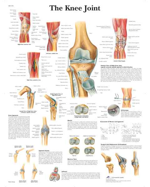 The Knee Joint Chart