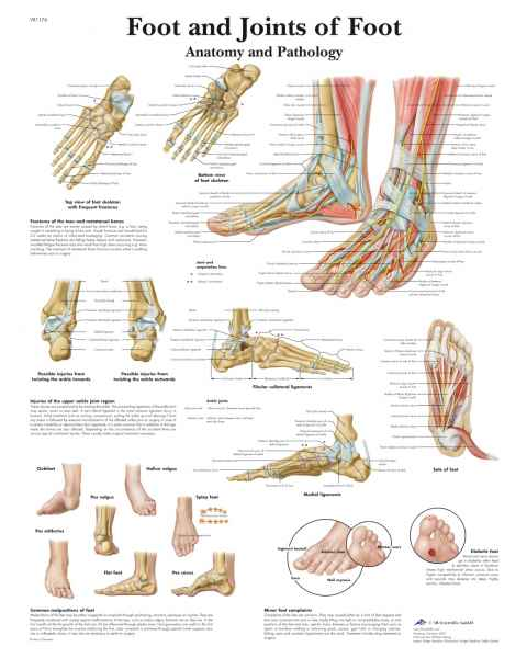 Foot and Joints of Foot Chart
