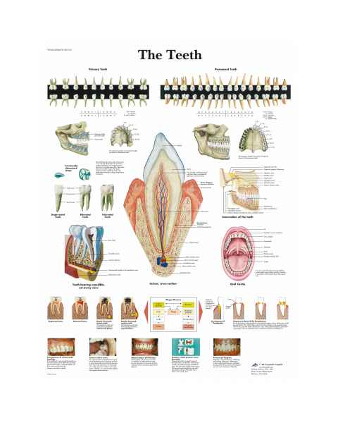 The Teeth Chart