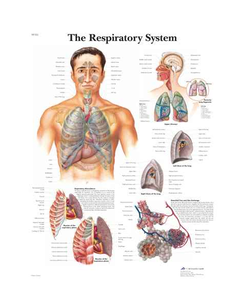 The Respiratory System Chart