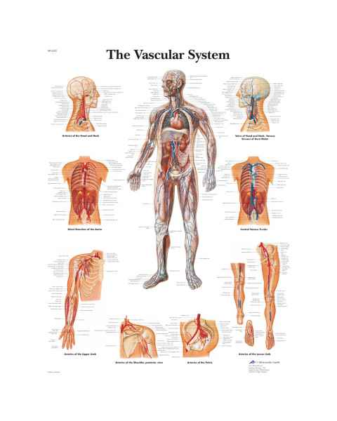 The Vascular System Chart