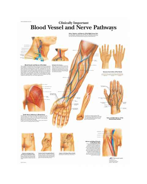 Blood Vessel, Nerve Pathways Chart