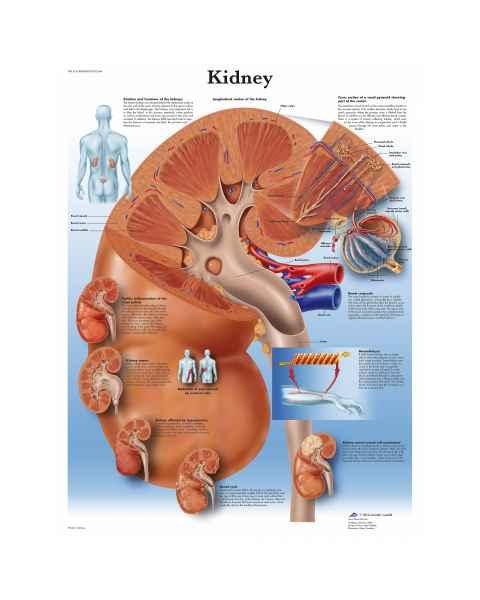 Kidney Chart