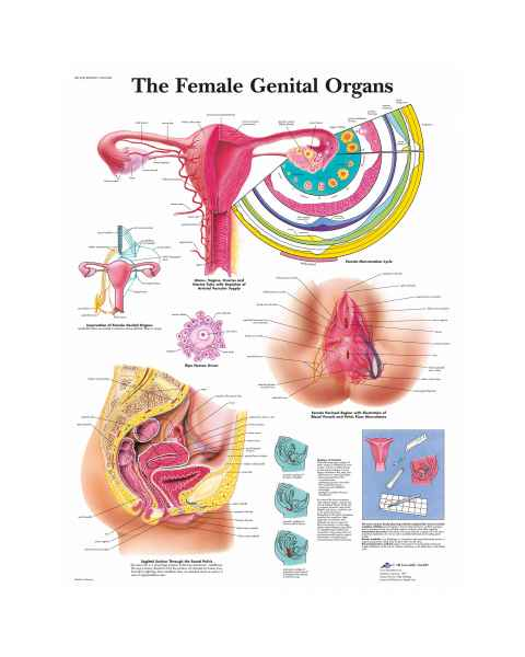 The Female Genital Organs Chart