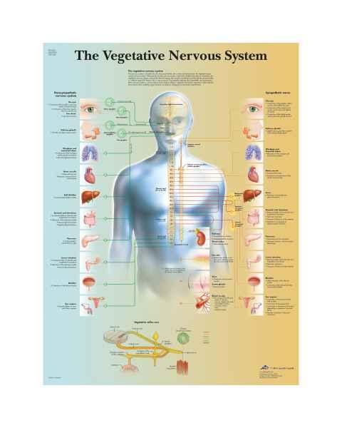 Vegetative Nervous System Chart