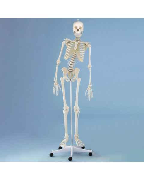 Z3014 Physiotherapy Skeleton with Roller Stand