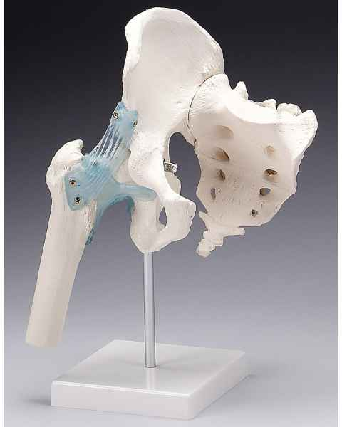 Hip Joint with Ligaments Model