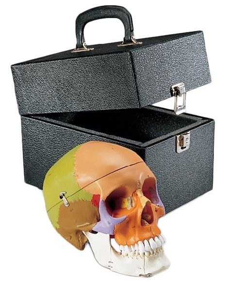 Premier Teaching Skull - Painted with Locking Case