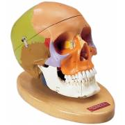 Premier Teaching Skull - Painted with Hardwood Base