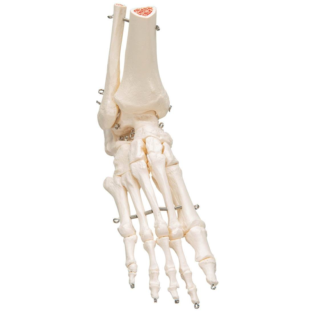 3B Scientific A31L Rigid Skeletal Foot Model Portion Tibia ...