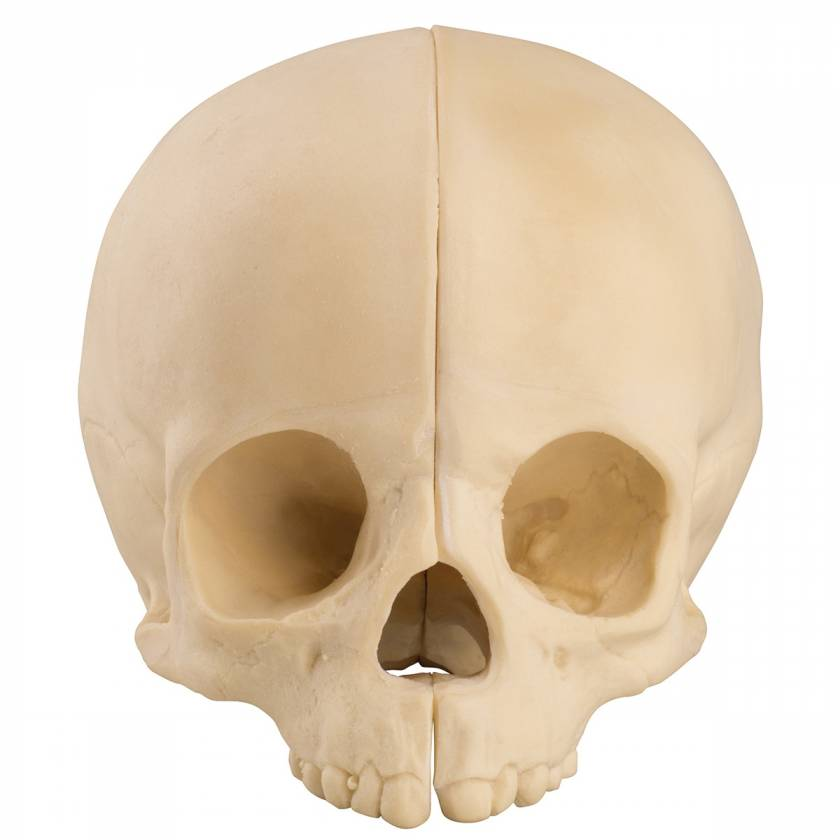 ORTHOBone Standard Pediatric Skull
